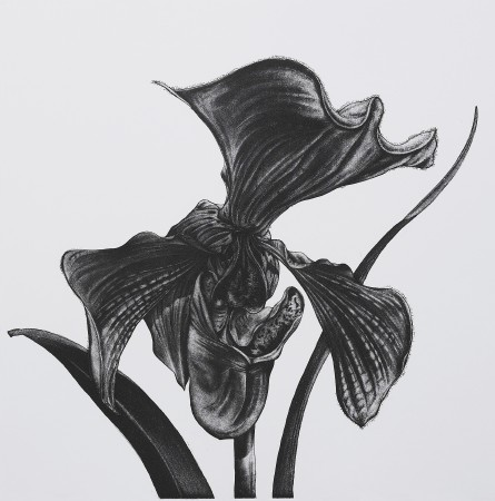 <i>Paphiopedilum villosum</i>, 2005. Aquatint printed in black, paper 50 x 50 cm.