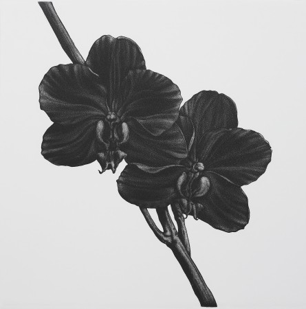 <i>Phalaenopsis anthura gold</i>, 2005. Aquatint printed in black, paper 50 x 50 cm.