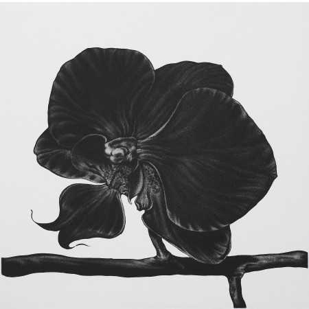 <i>Phalaenopsis lipperose</i>, 2005. Aquatint printed in black, paper 50 x 50 cm.