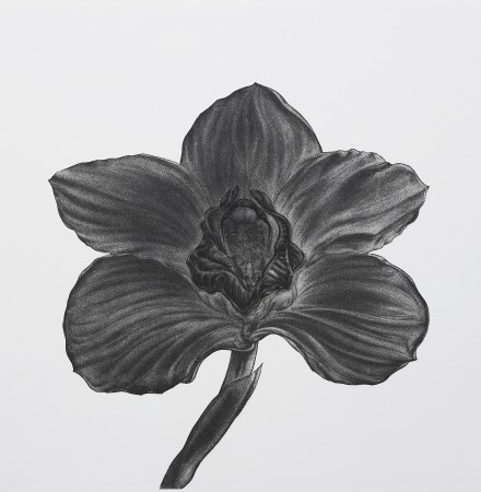 <i>Cymbidium portent bay</i>, 2005. Aquatint printed in black, paper 50 x 50 cm.